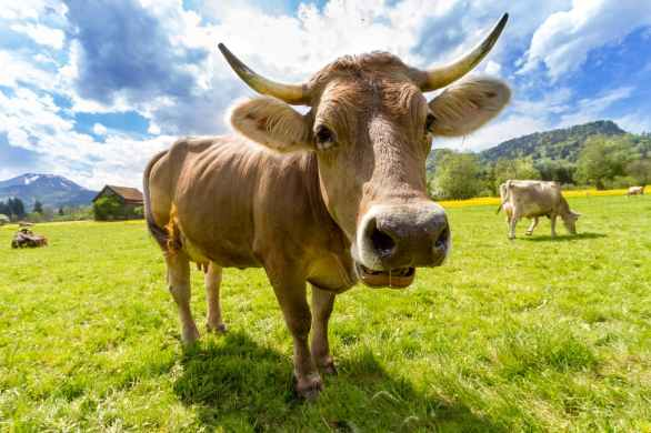 cow-pasture-animal-almabtrieb.jpg
